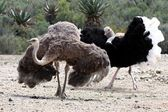 Ostrich Breeding Pair — Stock Photo