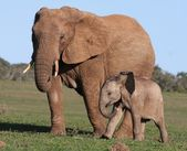 African Elephant Baby and Mom — Stok fotoğraf