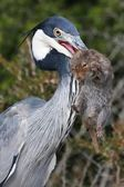 Heron Bird and Catch — Stock Photo
