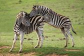 Zebra Games — Stock Photo