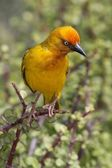 Cape Weaver Bird — Stock Photo