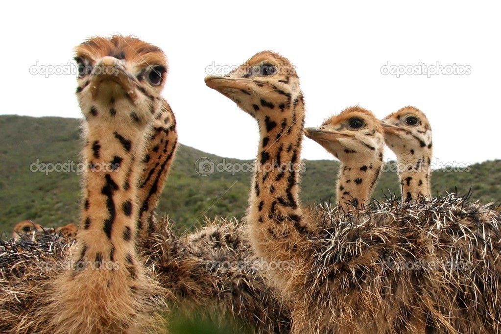 Inquisitive baby ostrich chicks with spotted necks — Stock Photo #2305050