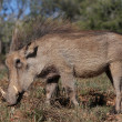 Beautiful Warthog — Stock Photo