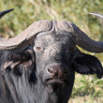 Cape African Buffalo — Stock Photo