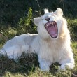 lion blanc bouche ouverte — Photo