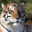 Tiger Portrait — Stock Photo #2311420