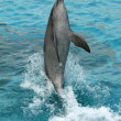 Stock Photo: Dolphin Tail Walking
