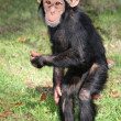 Funny Baby Chimp — Stock Photo #2319557