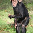 Funny Baby Chimp — Stock Photo