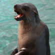 Seal with Open Mouth — Stock Photo