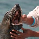 Seal Teeth — Stock Photo