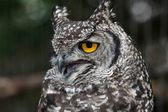 Agitated Spotted Eagle Owl — Stock Photo