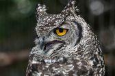 Agitated Spotted Eagle Owl — Stock Photo