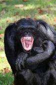 Dientes del chimpancé — Foto de Stock