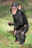 Funny Baby Chimp — Stockfoto