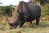 White Rhino and Bird — Stock Photo