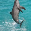 Dolphin Leap — Stock Photo #2321744