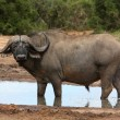 Stock Photo: Cape Buffalo Bull