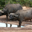 Buffalo Pair - African — Stock Photo