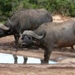 Buffalo Pair - African — Stock Photo