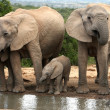 African Elephant Family Group - Stock Photo