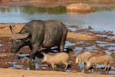 Buffalo and Warthogs — Stock Photo