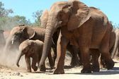 African Elephants — Stock Photo