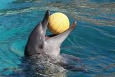 Dolphin Playing with Ball — Stock Photo