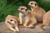 Meerkat Family — Stock Photo