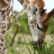 Stock Photo: Giraffe Eating Leaves