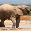 African Elephant Drinking — Stock Photo