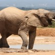 African Elephant Drinking — Stock Photo #2408110