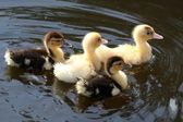 Cute Ducklings Swimming — Stock Photo