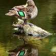 Mallard Duck Preening — Stock Photo