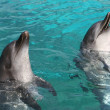 Bottlenose Dolphins - Stock Photo