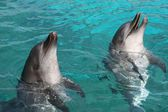 Bottlenose Dolphins — Stock Photo