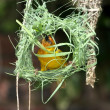 Weaver Building Nest — Stock Photo
