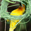 Stock Photo: Nest Building Weaver