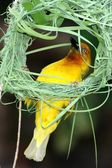 Nest Building Weaver — Stock Photo
