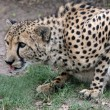 Crouching Cheetah — Stock Photo #2604888