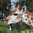 Giraffe Eating Leaves — Stock Photo #2604929