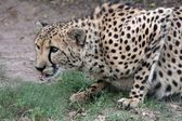 Crouching Cheetah — Stock Photo
