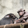 Male Chimpanzee - Stock Photo