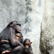 Chimpanzee Family — Stock Photo #2270628