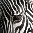 Zebra Close-up — Stock Photo