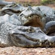 Alligators — Stock Photo #2272671