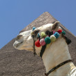 Camel and Pyramid - Photo