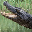 Snapping Alligator - Stock Photo