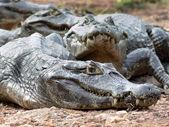 Alligators — Stock Photo