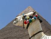 Camel and Pyramid — Stock Photo